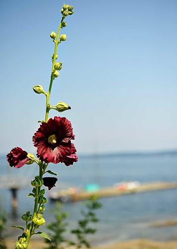 purpleflower1
