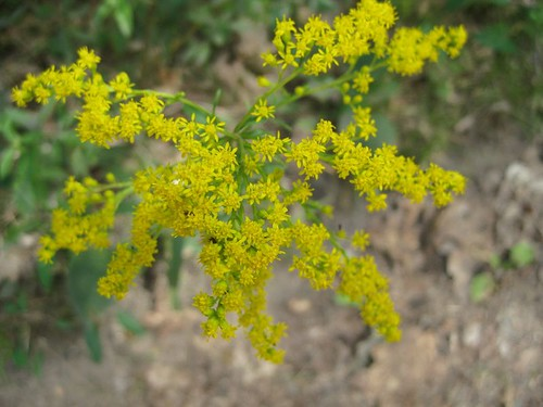 'Tis the Season for Goldenrod and Hayfever