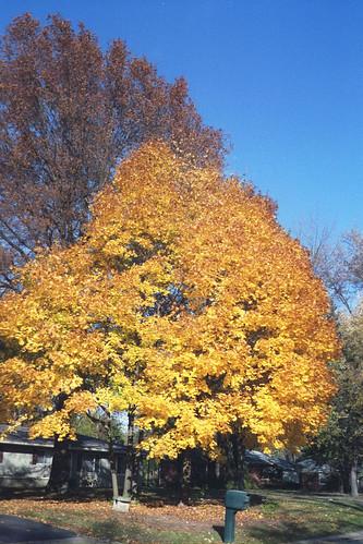 Fall color in my neighborhood