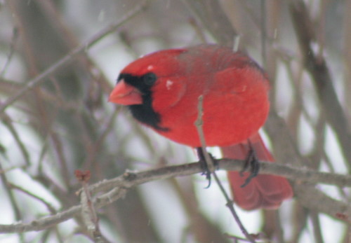 New Year's Northern Cardinal
