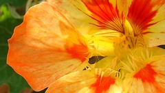 Yellow and orange nasturtium, backlit by sun, ...