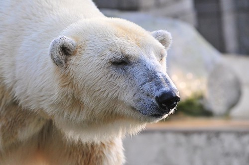 Eisbärin Jerka im Zoo Wuppertal