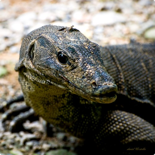 Monitor lizard close-up portrait.
