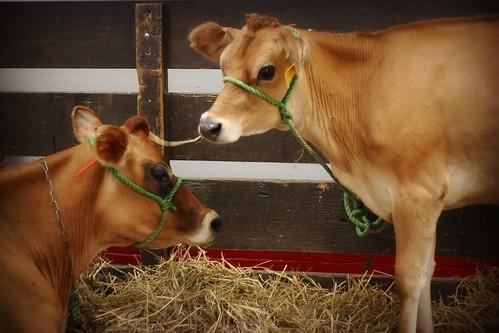 Kentucky State Fair:Cows