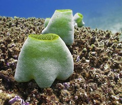 Sea Squirt - Didemnum molle - IMG_0704