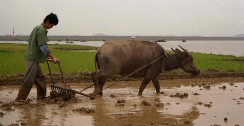 Man plowing rice paddy with water buffalo; Hai...