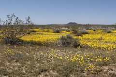 Spring wildflowers in bloom. in the California...