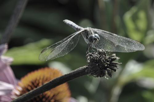 dragonfly (c) Lynne Medsker