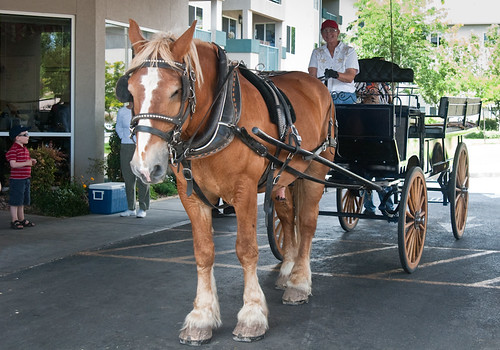 Belgian Draft Horse with Wagon