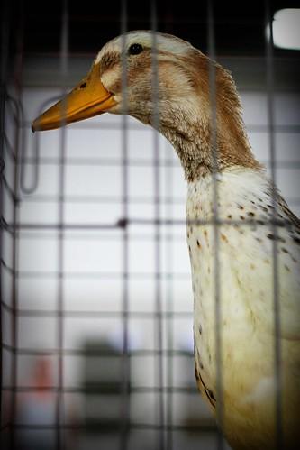 Kentucky State Fair:Duck