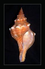 Trapezium Horse Conch - Pleuroploca trapezium