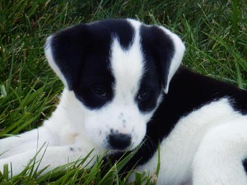 Puppy Chevy