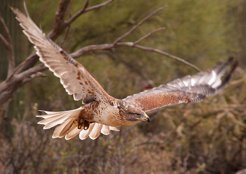 Ferruginous Hawk 007