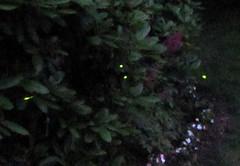 Lightening Bugs