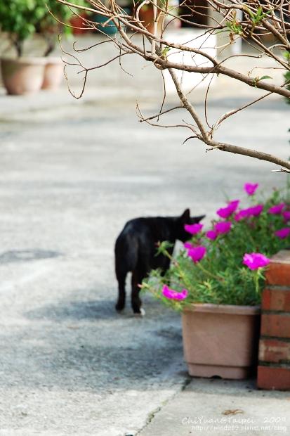 [侯硐]Cat。貓鎮中的一紳士貓03.jpg