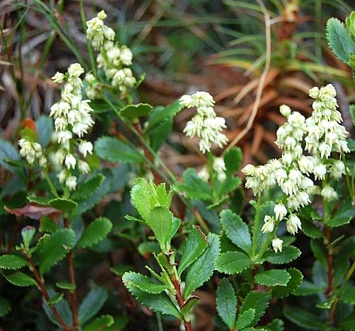 Tetracarpaea tasmannica (Delicate Laurel)