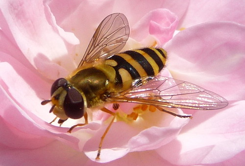 Visitor in the garden (loves my pink roses)