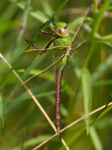 Common Green Darner - female