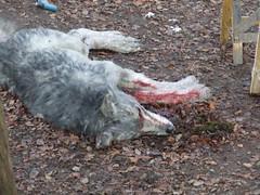 Fake Wolf Close Up
