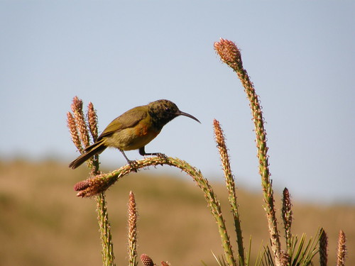 Orange-breasted sunbird (Nectarinia violacea)