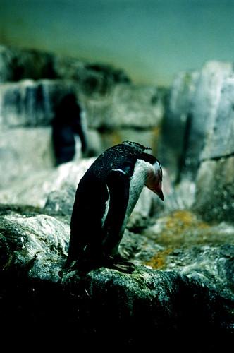 Penguin, Central Park Zoo. (Fuji Provia 400X. Nikon F100. Noritsu Koki.)