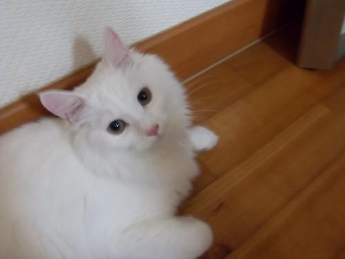 마루바닥에 앉아 고개를 돌려 정면을 쳐다보는 하얀 고양이