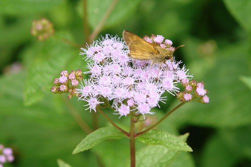 Purple Aster and Moth