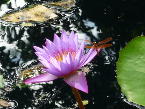 Water lilly with a dragonfly