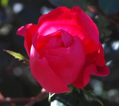 Single Rose 112609