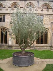 Christ Church - Gefäß für Ölbaum von Robert Sandell 2008