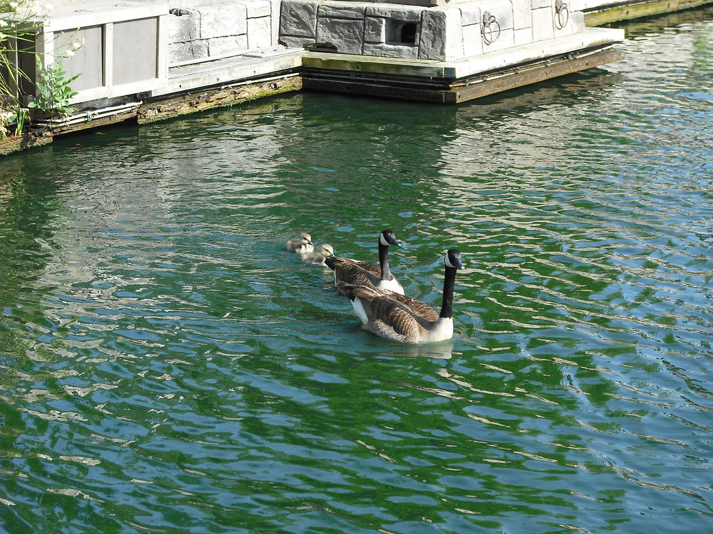 hight resolution of canadian geese and their babies piratetinkerbell tags california ca baby west america river
