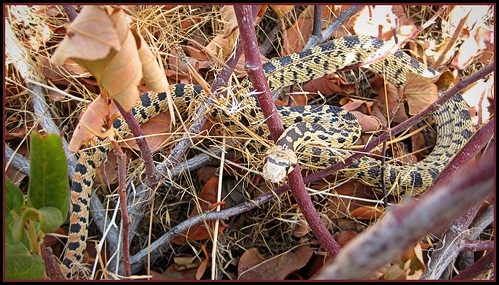 Gopher (or Bull) Snake