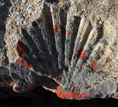 a scallop fossil the size of your hand