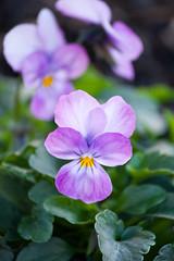 Lilac viola