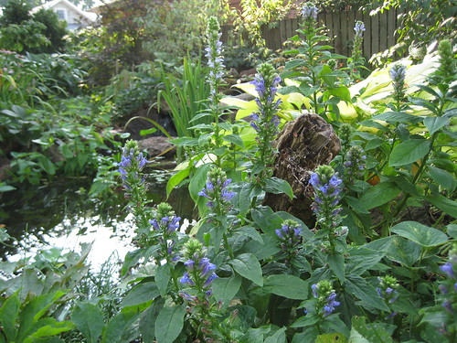Great blue lobelia by the pond