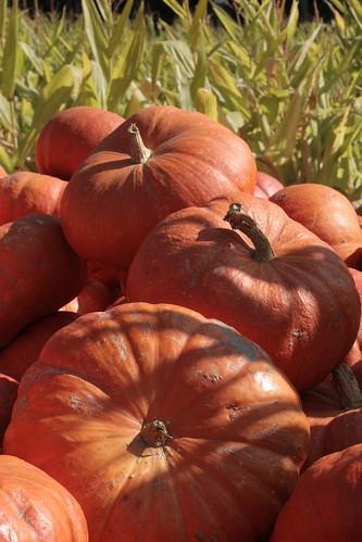 Pastoral pumpkins