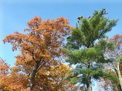Oak & pine