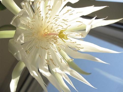 orchidcactus (8)