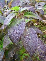 Rain on hydrangea leaves