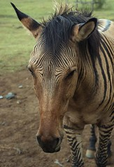 zebroid 2