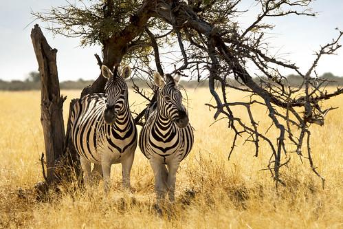 Zebra Shelter