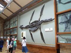 Plesiosaur, Natural History Museum, London