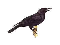 Aga (Mariana Crow)