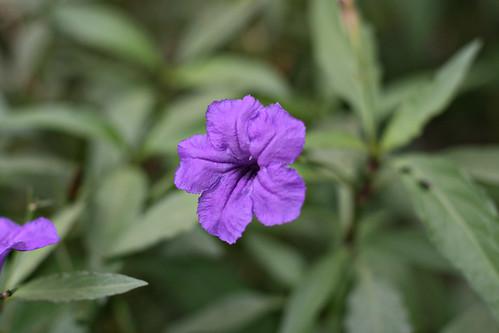 purpleflower110609