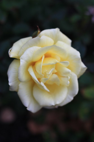 Thanksgiving rose