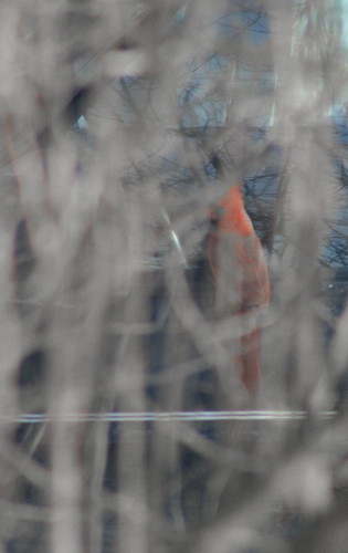 Cardinal at Jeep mirror as seen through lilac bush in winter
