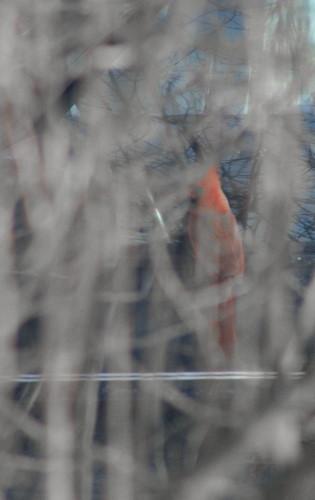 Cardinal at Jeep mirror as seen through lilac bush in winter