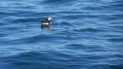 Puffins off Stroma