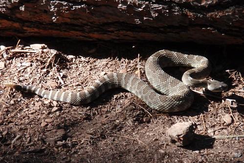 Rattlesnake 02
