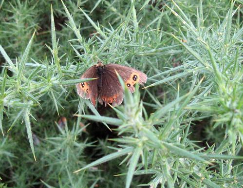 Scotch Argus (Erebia aethiops)